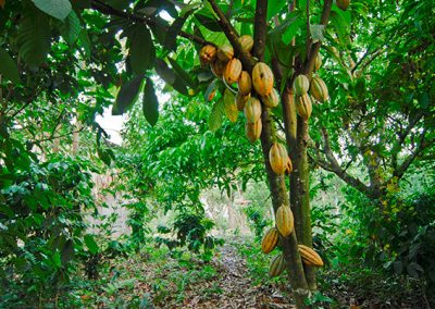 Gallery Cacao Tree